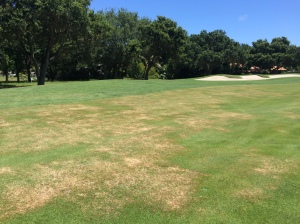 Bermuda grass treatment on 1 fairway.  Necessary to eradicate common bermudagrass
